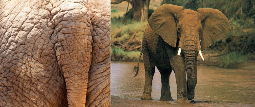 elephantcombo