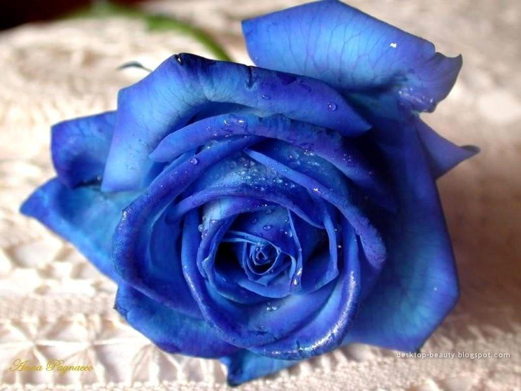 blue roses thoughts of a taoist babe rh taobabe wordpress com
