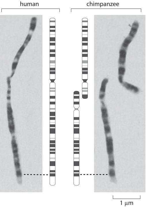 HumanChimpChromosomes-1