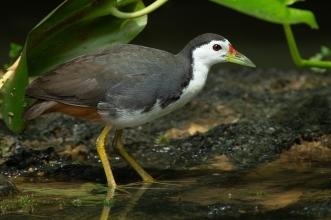 Amaurornis_phoenicurus