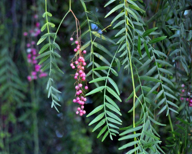 california-pepper-tree